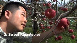 How to Pick and Store Apples [at a Korean Apple Orchard]