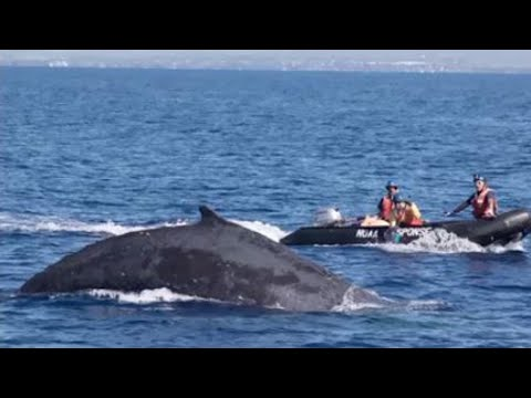 Xxx Mp4 Rescue Team Rushes To Free Entangled Humpback Whale Near Hawaii 3gp Sex