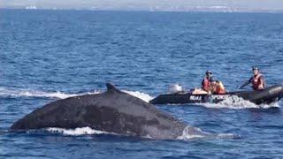 Rescue Team Rushes to Free Entangled Humpback Whale Near Hawaii