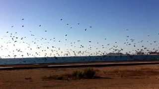 Rocky Point, Sonora México. El vuelo de aves. Pelicanos & gaviotas