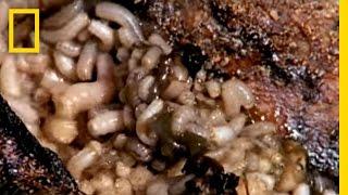 Maggot Medicine   National Geographic