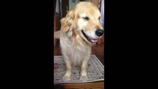 [Short]The golden retriever Alia with my Japanese daughter in the morning 2017.5.27