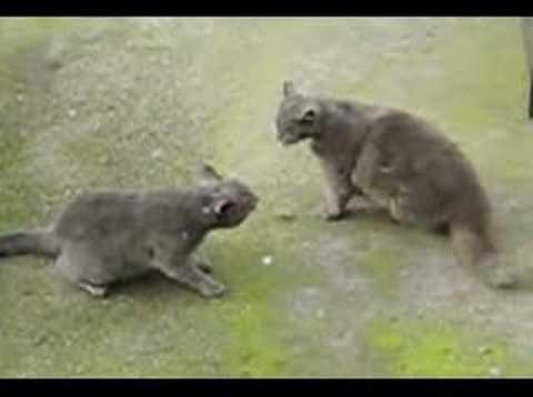 Pelea de gatos 3