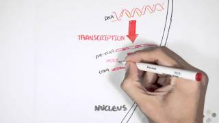 Transcription and Translation Overview