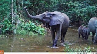 Les éléphants de Nyonié au Gabon 2016 - The African forest elephant (Loxodonta cyclotis).