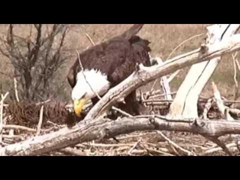 Standley Lake (CO) Bald Eagles 4-11-17 Three Eaglets!