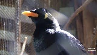 Moin Der Vogel kann Plattdeutsch sprechen Der sprechende Bea the talking bird Beo