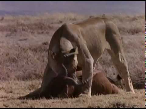 Hyenas vs Lions Hyenas beat up and steal lions kills