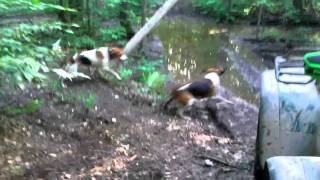 Hunting Dogs Vs Raccoon