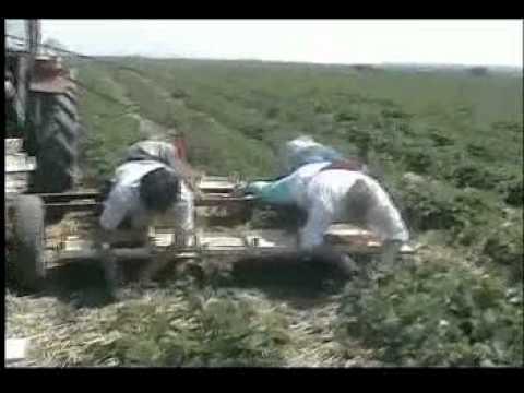 branje jagoda u Djurdjevu