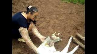 completo mulher toma coice da vaca violento na cabeça 2012 original  oficial