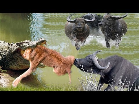 Fighting Moments Of Buffalo V.S Lion in Nature New Fights Of Wild Animals 2019