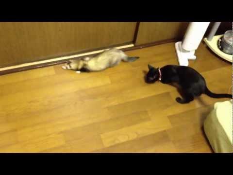 猫とフェレット超バイオレンスなコミュニケーション