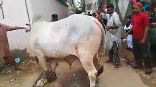 Big Sibbi Cow Qurbani (Sibbi Bull Qurbani)