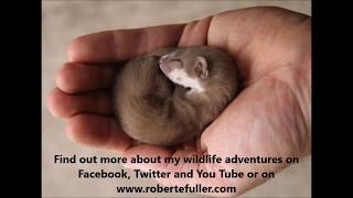 Robert E Fuller: My pet weasel Fidget loves his assault course in my artist