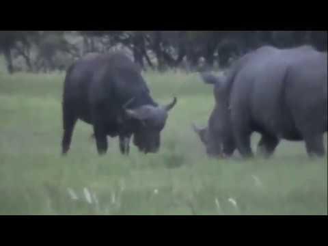 Tê giác và trâu rừng Rhino and Buffalo battle