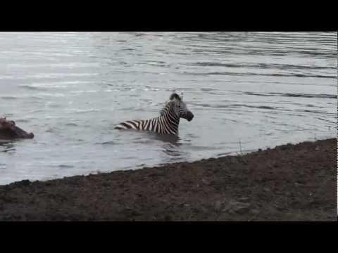 Crocodile vs zebra amazing encounter