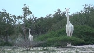 Rare White Giraffe Discovered