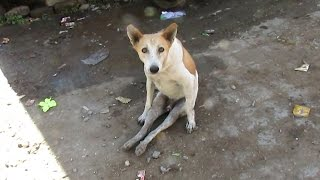 Dog paralysed from car accident walks again