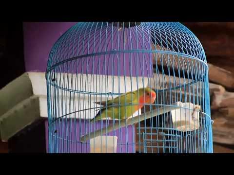Lovebird Nonklep Isian Murai Batu Gacor