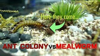 Ant Colony vs Mealworm