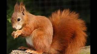sex vjeverice