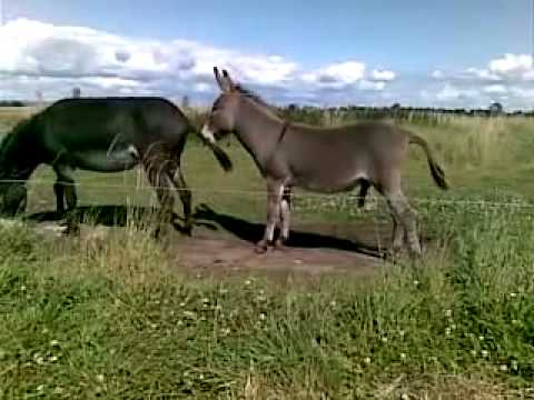 Секс у осликов видео