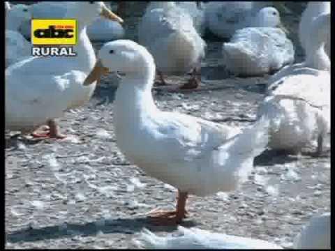 Cría de patos Pekín