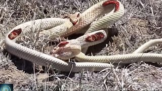 Watch these Snakes Fight to Death - Snake vs Snake!