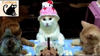 Cat Has Birthday Party With Kitty Friends | CatNips