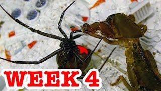 Deadly Spider Vs Devil Bug Week 4 Redback Spiders Ultimate Killers