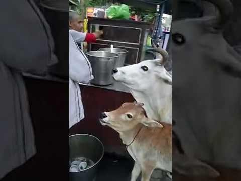Funny vidio Indian cow enjoys panipuri