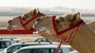 One Million Dollar Camel Race | Wild Arabia | BBC