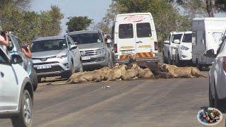 Massive Lion Sightings Roadblocks. A Compilation