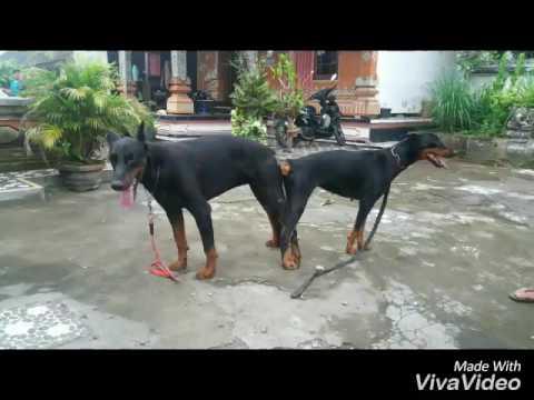 Dog crot weading bali Pawang Kawin Dogy's