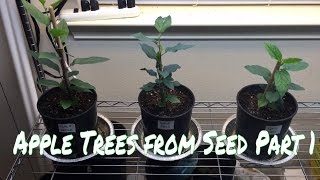 How To Grow an Apple Tree From Seed, Part 1