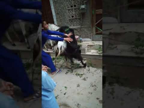 Xxx Mp4 Goat Sex On Eid 3gp Sex