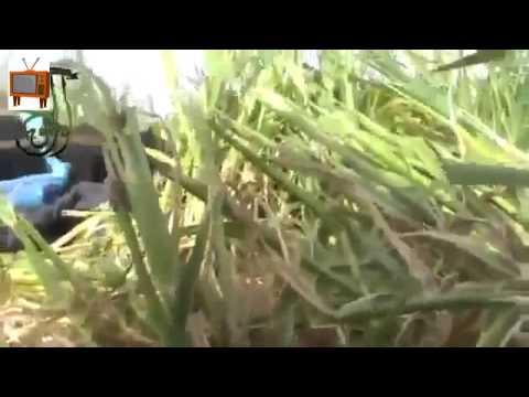 Syria   FSA Terrorist in front line Killed By SAA Sniper