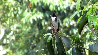 Bird Sounds -- RED-WHISKERED BULBUL