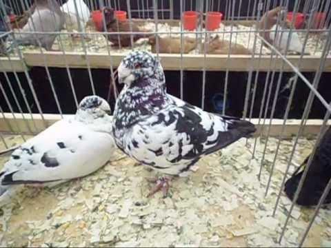 Expoziţie în Bucureşti de găini cocoşi porumbei iepuri wmv