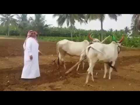 Funny video saudi in indian farm