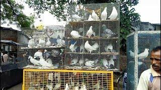 BEST PIGEON MARKET OF KOLKATA (SHYAMBAZAR -SUNDAY)