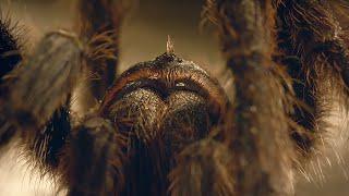 Tarantula Mating: don