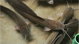 Catfish Breeding Techniques | Fish Eggs Hatching Magur Fish Breeding Farm | Best Way Catfish Farming