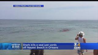 Shark Attacks Seal Near Surfers Off Cape Cod Beach