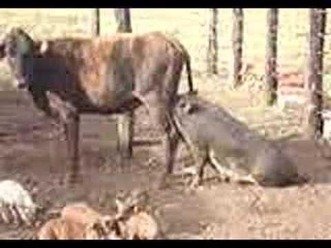 Porca mamando na vaca Sacramento Mg