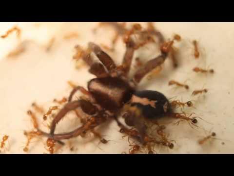 Hormigas de fuego se comen viva a una araña lobo