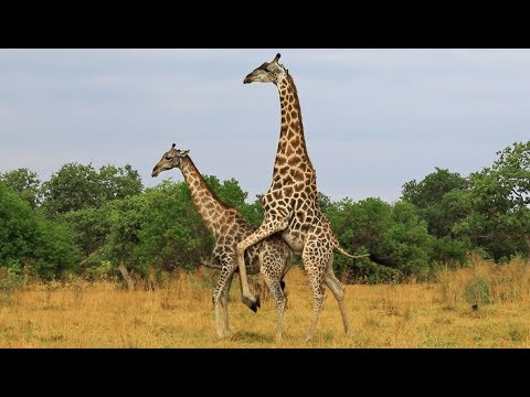 Xxx Mp4 Giraffe Tries Hard To Mate With Female 3gp Sex