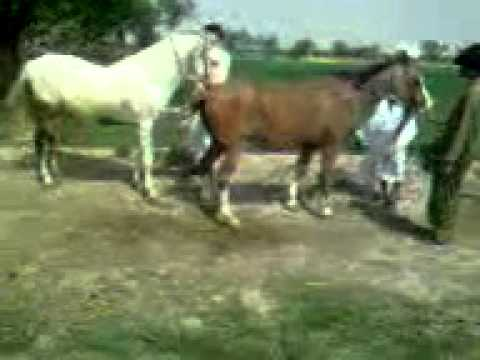 Xxx Mp4 Horse Breeding In Pakistan 3gp Sex