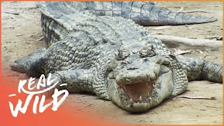 Ningaloo Reef - Where Ocean Giants Meet [Shark Documentary]   Real Wild